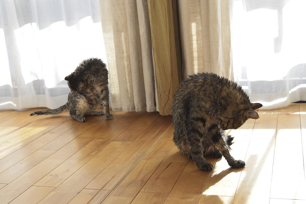 洗濯されたキジトラ猫の虎ノ介とサバトラ猫の春太