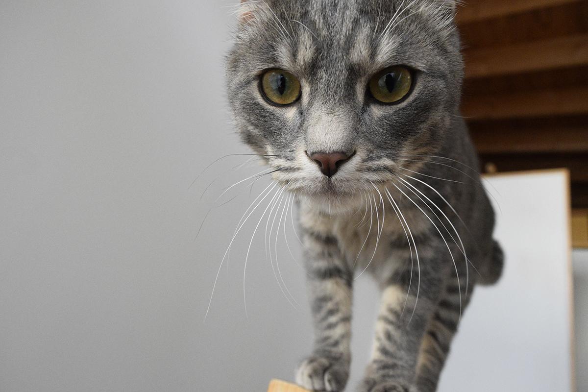 乾いてブラッシングを終えたサバトラ猫の春太