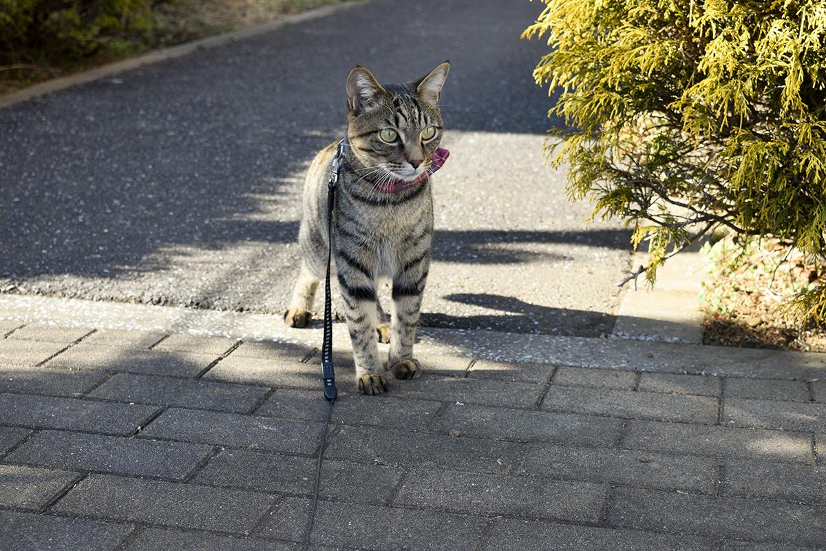 鳥を眺めるキジトラ猫の虎ノ介