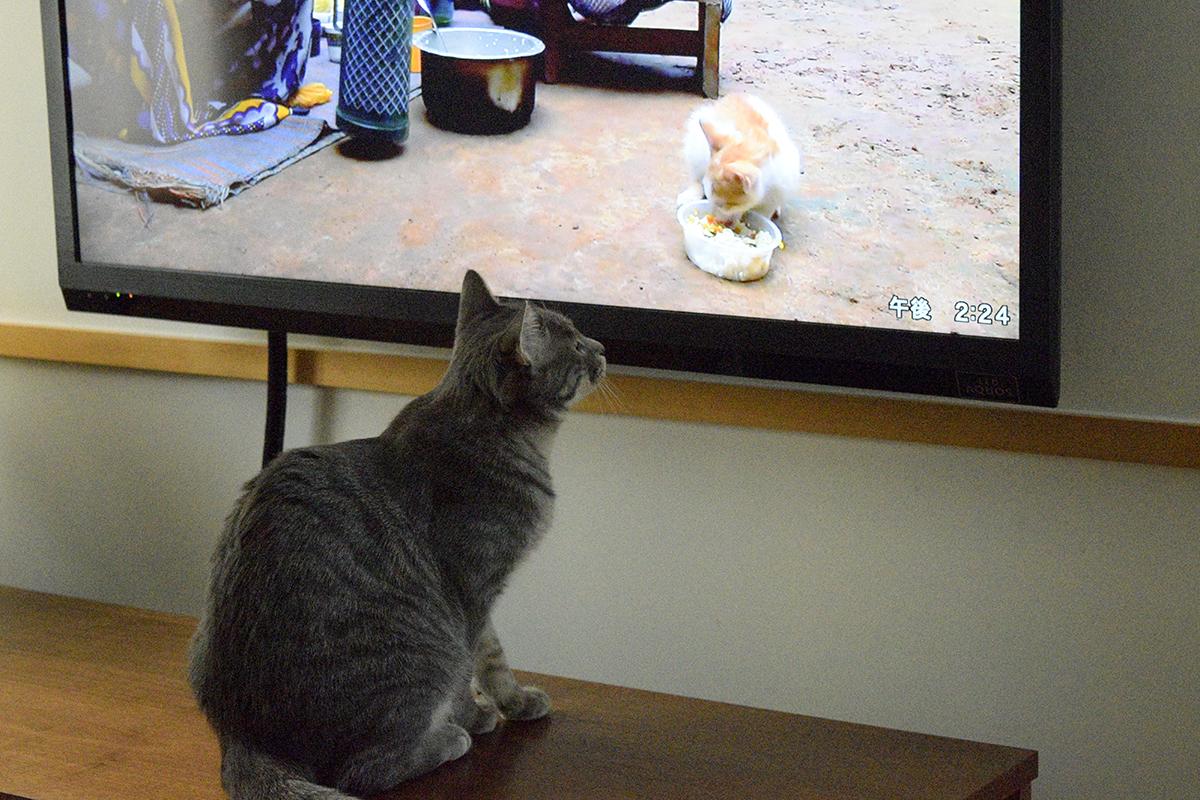 テレビの中の食事中の猫をみつめるサバトラ猫の春太
