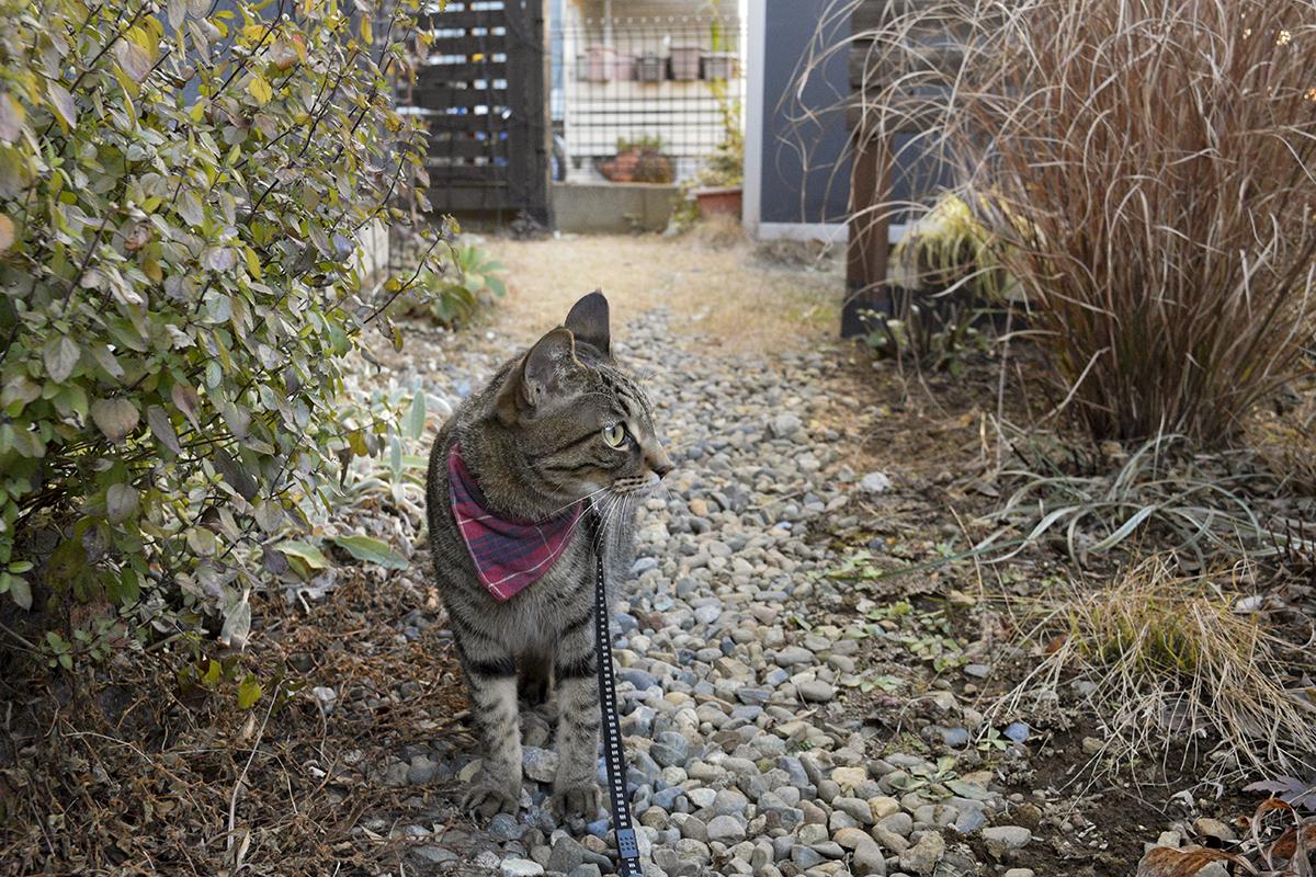 お庭のパトロールをするキジトラ猫の虎ノ介