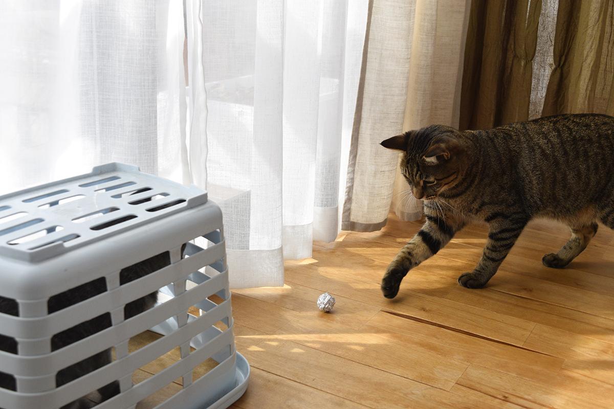 一人で遊ぶキジトラ猫の虎ノ介とかごに捕獲されたサバトラ猫の春太