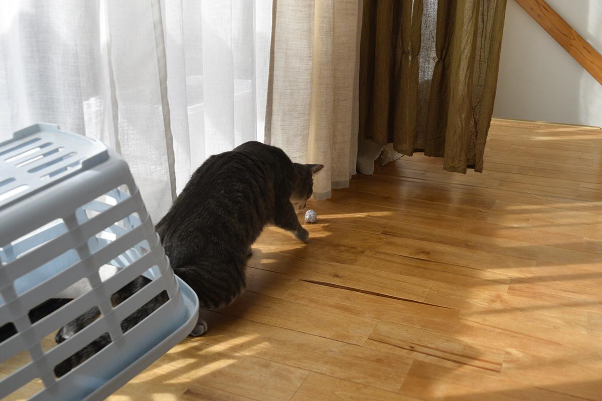 カゴから飛び出すサバトラ猫の春太