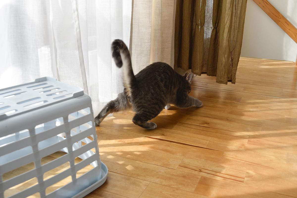 カゴから飛び出しおもちゃを奪うサバトラ猫の春太