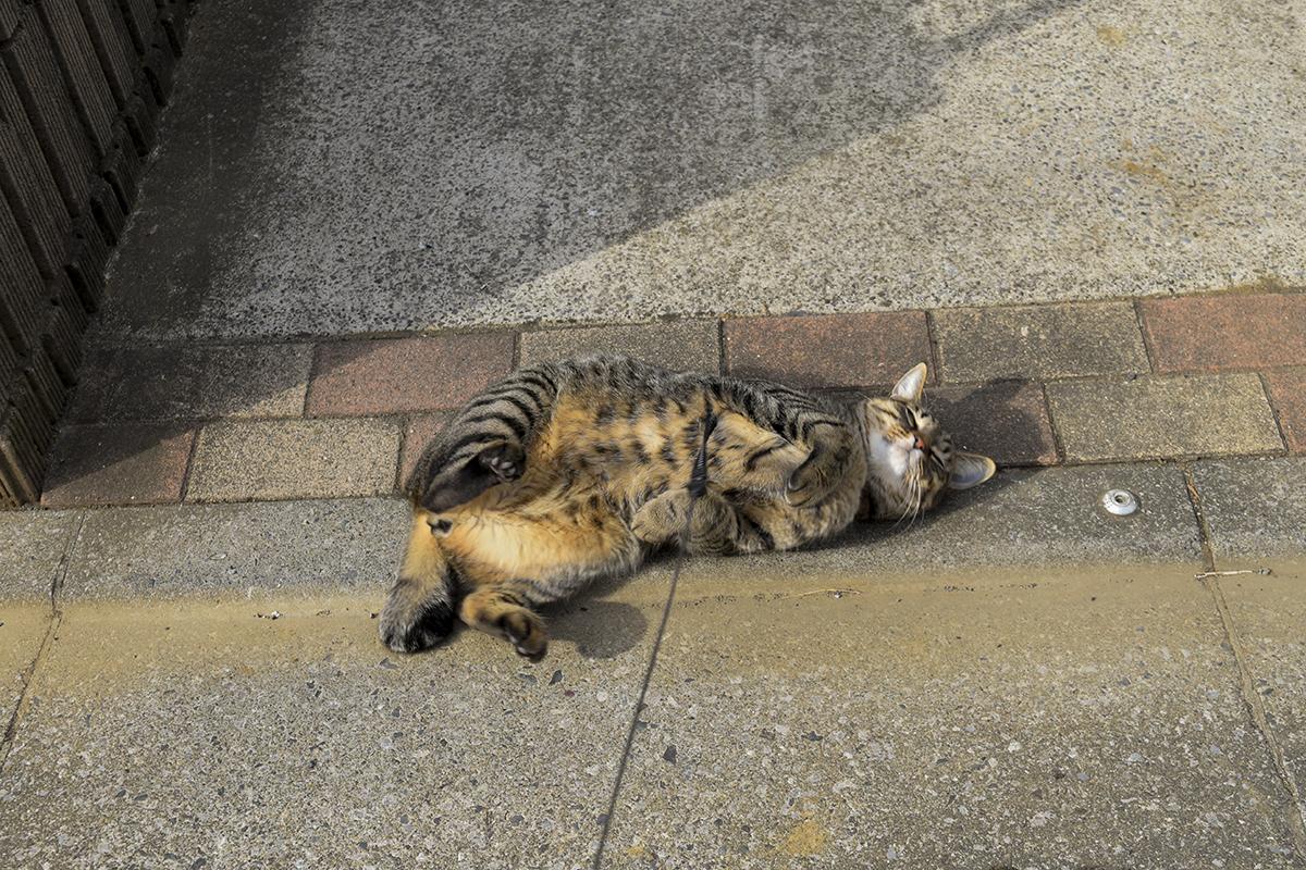 ゴロンゴローンするキジトラ猫の虎ノ介