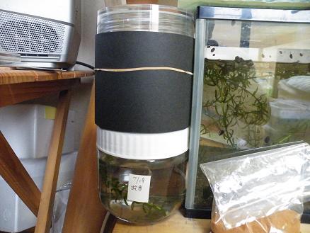 実験中のガラス容器に楊貴妃めだかちゃんの稚魚