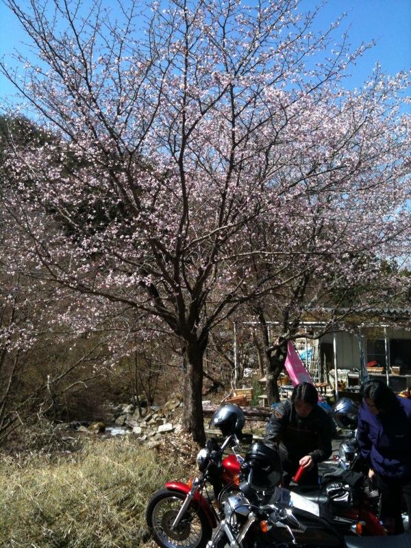 桜バイク100425