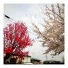桜と赤い花
