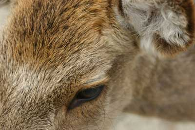 宮島の鹿クン