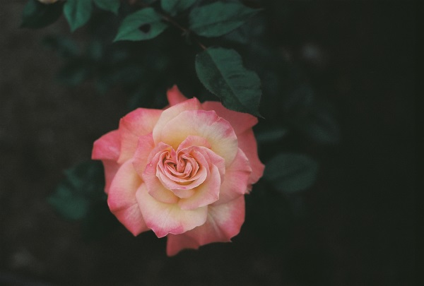 F3:the rose