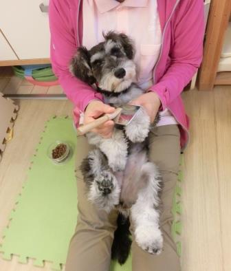 Resultado de imagen para 犬 schnauzer おもちゃで遊ぶ