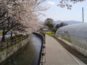 今川沿道の桜