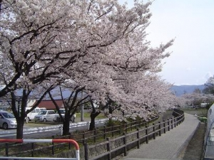 今川の桜。