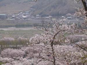 富士川を望む桜の隙間
