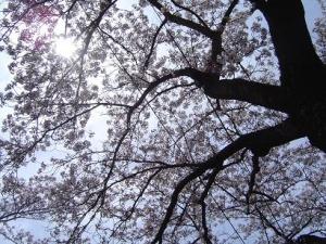 太陽光を浴びる桜