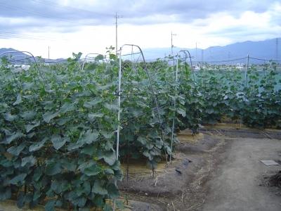 きゅうり畑2