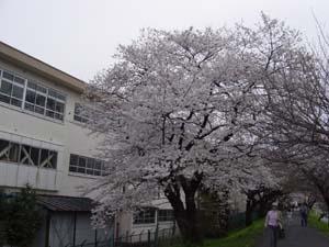 横二小裏桜