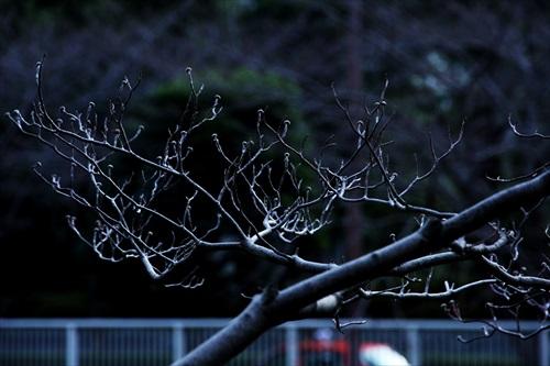 目黒川、枯れ木