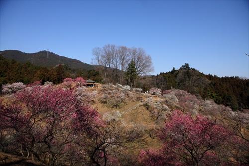 吉野梅郷・梅の公園