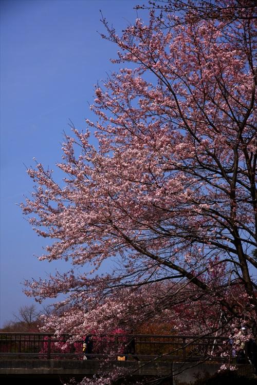 昭和記念公園・桜