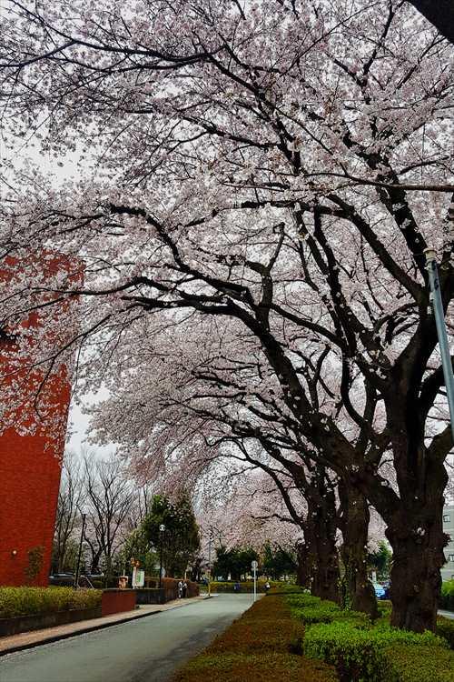日野市役所前の桜