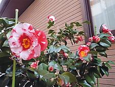 咲き始めの椿.jpg