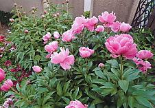 芍薬の花.jpg