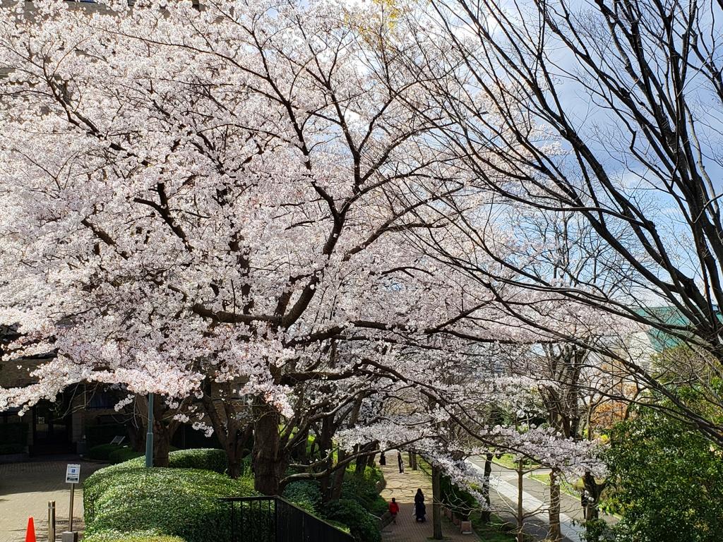遊歩道桜2019