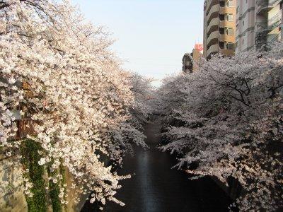 Sakura@Meguro River