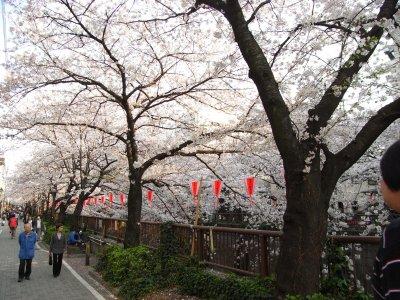 Sakura@Meguro River 2