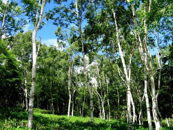 今日の白樺樹林