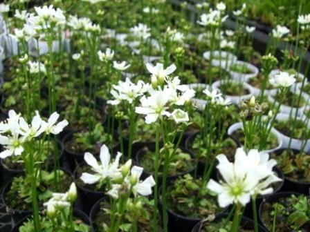ハエトリソウの花
