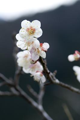 梅の花見ごろ