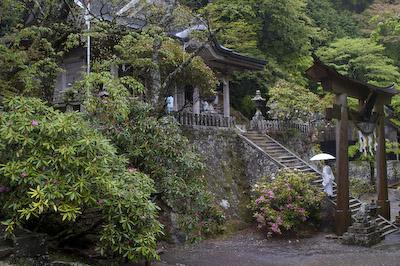 玉置神社境内シャクナゲ2