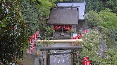三柱神社境内シャクナゲ