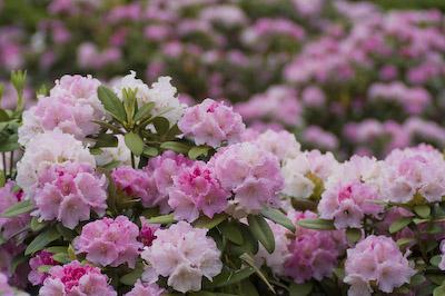 花薫るシャクナゲ