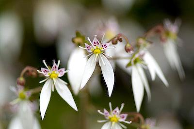 ユキノシタの花2