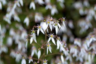 ユキノシタの花3