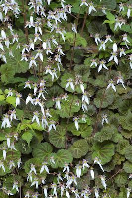 ユキノシタの花4