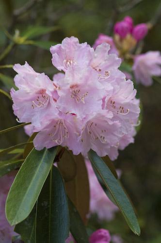 玉置神社石楠花4