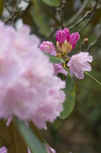 玉置神社石楠花6