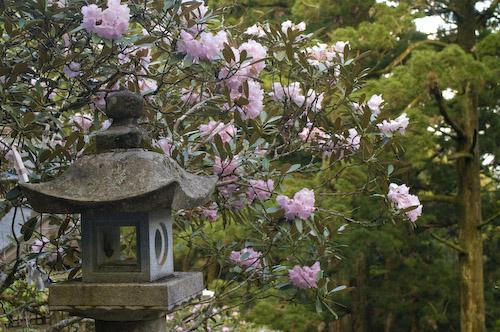 玉置神社石楠花7