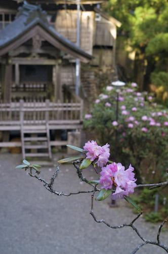 玉置神社石楠花8
