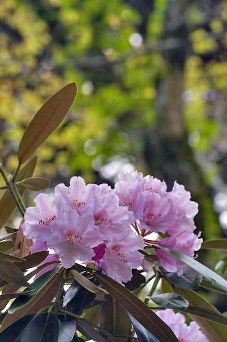 玉置神社石楠花5