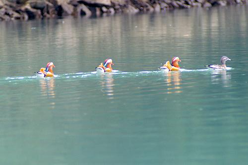ダム湖を泳ぐオシドリ