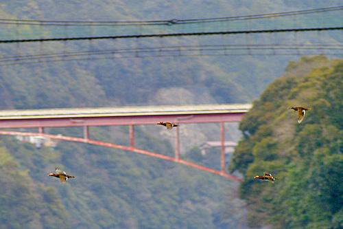 猿飼橋とオシドリ
