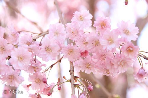 果無集落のしだれ桜2