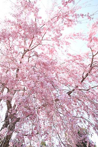 果無集落のしだれ桜3