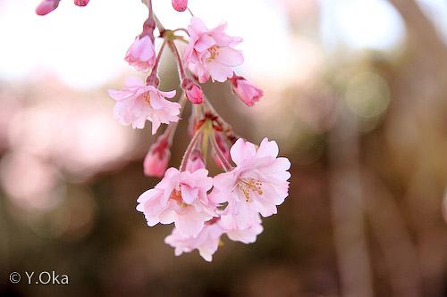 果無集落のしだれ桜4