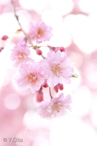 果無集落のしだれ桜5